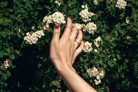 hand holding beautiful spirea flower in sunlight. girl hands with red nails touching spiraea white flowers bush in sunny summer garden. enjoying life. protecting nature