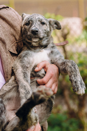 people holding sad cute little grey puppy with collar in hands. doggy playing outdoors. scared homeless dog looking for home. adoption concept