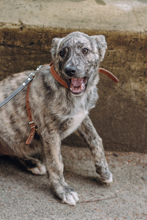 cute little grey puppy with collar sitting and yawning in city street.  sweet doggy with sad eyes, waiting outdoors. funny homeless dog looking for home. adoption concept. Standard-Bild - 102385145