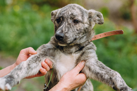 people holding cute little grey puppy with collar in hands. doggy playing outdoors. scared homeless dog looking for home. adoption concept Stockfoto