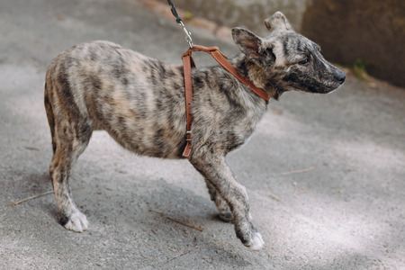 cute little grey puppy walking with collar in city street. scared sweet doggy with sad eyes, waiting outdoors. homeless dog looking for home. adoption concept.