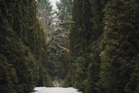 snowy road among green trees in woods in winter. old path covered with snow in forest with cedar or pine trees Reklamní fotografie