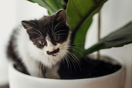 cute little kitten sitting under fiddle leaf fig tree in stylish room. adorable black and white kitty playing in pot at green leaves, funny moments, home pets