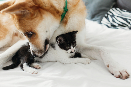big golden dog smelling cute little kitty on bed with pillows in stylish room. adorable black and white kitten and puppy with funny emotions resting together. sweet moments Stock Photo