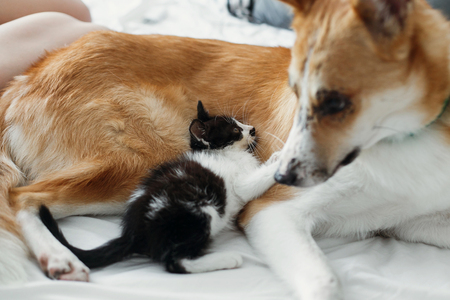 cute little kitty sitting on big golden dog on bed with pillows in stylish room. adorable puppy looking at black and white kitten with funny emotions playing together on blanket. best friends