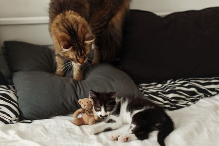 cute two cats playing on bed with pillows in stylish room. adorable black and white kitten and tabby maine coon with funny emotions playing on blanket. cozy home