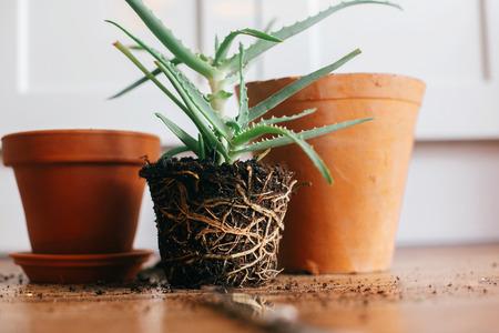 plante de rempotage. aloe vera avec des racines dans le sol rempoter à un plus grand pot d'argile à l'intérieur. soin des plantes. succulente sur fond en bois. concept de jardinage