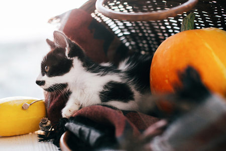 cute little kitty sitting in wicker basket with pumpkin, zucchini and herbs in evening light on wooden background. harvest and hello autumn concept. Happy Thanksgiving and Halloween