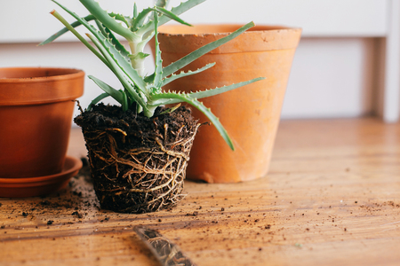 repotting plant. aloe vera with roots in ground repot to bigger clay pot indoors. care of plants. succulent on wooden background. gardening concept
