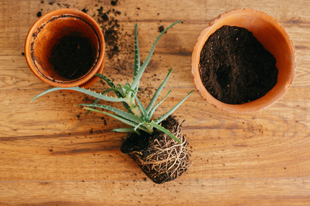 repotting plant. aloe vera with roots in ground repot to bigger clay pot indoors. care of plants. succulent on wooden background. gardening concept. flat lay Imagens