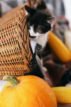 Cute kitty sitting in wicker basket with pumpkin and zucchini in light on wooden background. kitten with funny look. harvest and hello autumn concept.  Happy Thanksgiving