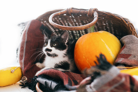 Happy Thanksgiving and Halloween. Cute kitty sitting in wicker basket with pumpkin and zucchini in light on wooden background. harvest and hello autumn concept. space for text