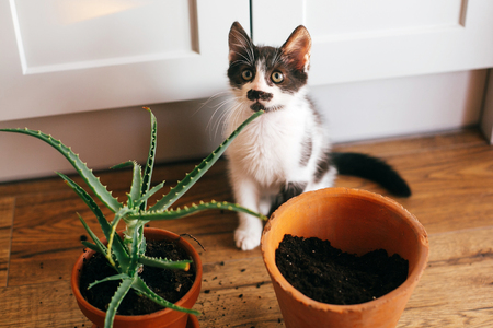 kitty with innocent eyes sitting at flipped pot and aloe vera indoors. care of plants. succulent on wooden background. gardening concept. funny cat