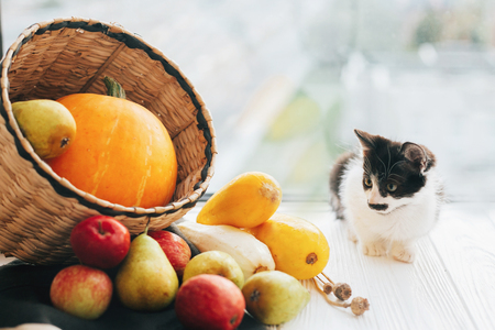 Happy Thanksgiving and Halloween. harvest and hello autumn concept with space for text. Adorable kitty sitting at pumpkin ,zucchini, apples and pears in straw basket in light Stock Photo
