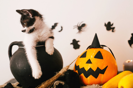 Happy Halloween concept. cute kitty sitting in witch cauldron with Jack o lantern pumpkin with candles, broom and bats, ghosts on spooky background.atmospheric image