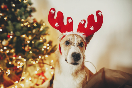 cute dog with reindeer antlers sitting on background of golden beautiful christmas tree with lights in festive room. doggy with adorable eyes at glowing illumination.  winter holidays