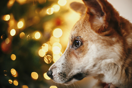 beautiful cute dog on background of golden beautiful christmas tree with lights in festive room. doggy with adorable eyes sitting at glowing illumination. cozy winter holiday