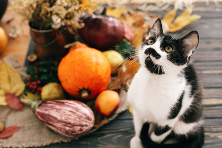 Cute cat sitting at beautiful Pumpkin in light, vegetables on bright autumn leaves, acorns, nuts on wooden rustic table. Hello Autumn. Fall season. Happy Thanksgiving concept Standard-Bild