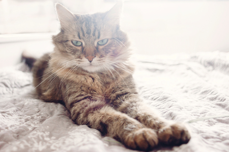 Beautiful tabby cat lying on bed and looking with green eyes. Fluffy Maine coon with funny emotions resting in white stylish room. Stock Photo
