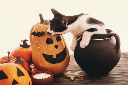 Happy Halloween concept. Pumpkins, jack-o-lantern, cat sitting in witch cauldron, bats, spider, candle, autumn leaves on black wood in light. Space for text. Seasons greeting Stockfoto