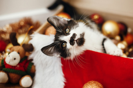 Cute kitty sitting in box with red and gold baubles, ornaments and santa hat under christmas tree in festive room. Merry Christmas concept. Adorable funny kitten. Atmospheric image