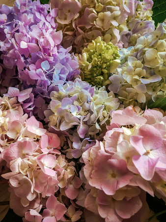 Hydrangea beautiful colorful bouquet top view. Pink, green, blue Hydrangeas flowers, colorful floral pattern. Hello spring