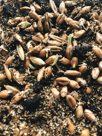 Sprouted grain. Fresh organic sprouted wheat seeds in ground at home. Healthy food, eco concept. Hello spring. Stockfoto