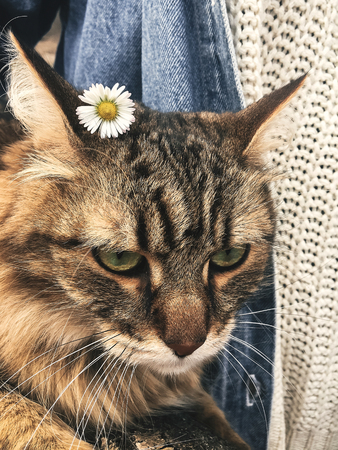 Cute and funny cat with daisy on his ear. Angry tabby maine coon with his owner at walk in park. Hello spring Stock Photo