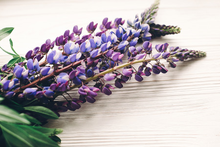 lovely lupine bouquet on rustic white wooden background in light, space for text. purple wildflowers top view. floral greeting card. spring image. gathering herbs Stock Photo