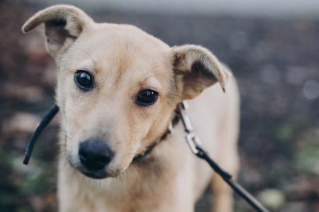 Portrait of cute golden puppy with sad black eyes and emotions in park. Dog shelter. Scared homeless doggy walking in city street. Adoption concept.