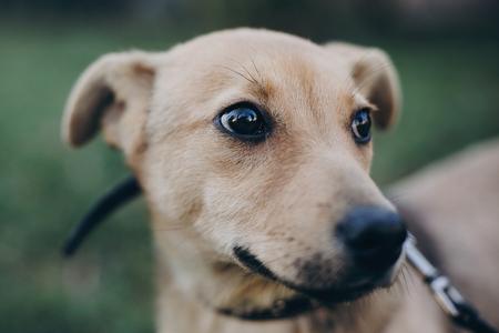 Ritratto di carino cucciolo d'oro con occhi neri tristi ed emozioni nel parco. Rifugio per cani. Doggy senzatetto spaventato che cammina nella via della città Concetto di adozione. Archivio Fotografico
