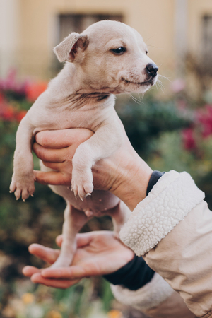 Hands holding cute little staff terrier puppy in autumn park. Person caressing scared homeless beige puppy in city street. Adoption concept. Dog shelter.