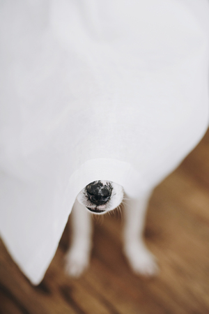 Dog nose under white curtains at window in home. Cute funny dog hiding under curtains, curious black nose close up. Copy space. Adoption concept. Funny playful moment