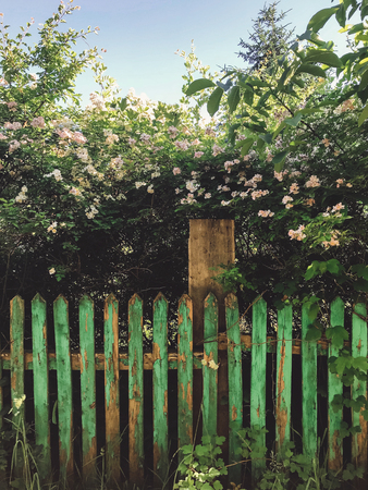 Fresh white flowers and green leaves on old wooden fence,clematis, jasmine or wild rose bush. Beautiful tender shrub with flowers in sunny light in garden. Hello spring.