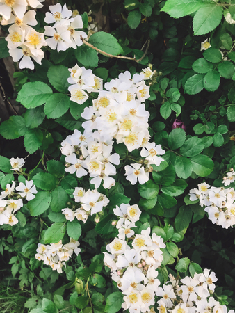 Fresh white flowers and green leaves,clematis, jasmine or wild rose bush. Beautiful tender shrub with flowers in sunny light in garden. Hello spring.