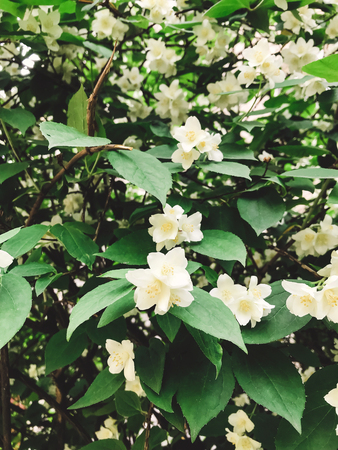 Fresh white flowers and green leaves, jasmine bush. Beautiful tender shrub with flowers in garden. Hello spring. Happy Mothers day.