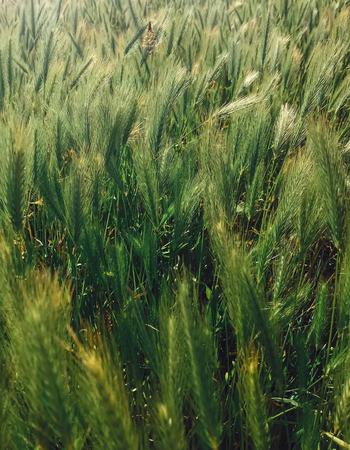 Fresh green wheat ears in sunny light. Oats, rye, barley field with fresh organic cultures. Hello spring. Eco food Stok Fotoğraf