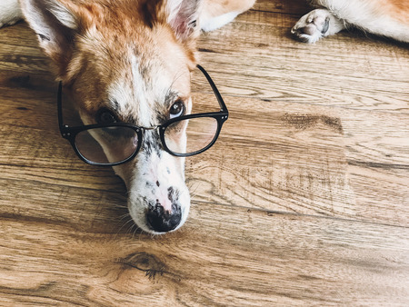 Cute dog in black glasses lying on floor with funny look. Smart dog learning and reading. Vision problem, eye care in dogs. Copy space. Phone photo 写真素材