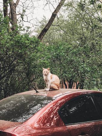 Cute ginger cat sitting on red car among green trees in spring. Homeless cat in city street. Phone photo Stock Photo
