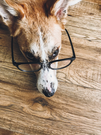 Cute dog in black glasses lying on floor with funny look. Smart dog learning and reading. Vision problem, eye care in dogs. Copy space. Phone photo Foto de archivo - 118404941