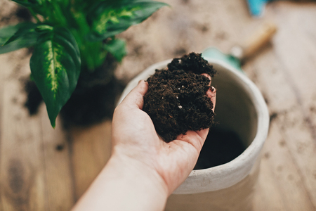 Repotting plant concept. Dirty hand holding new soil at empty new pot and gardening stylish tools, green plant on wooden floor. Preparing for repotting dumbcane into new modern pot. Stock Photo