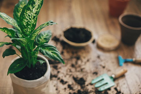 Repotting plant concept. Dieffenbachia plant potted with new soil into new modern pot, and gardening stylish tools, ground ,clay pots on wooden floor. Stock Photo