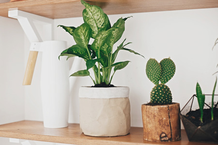 Stylish wooden shelves with modern green plants and white watering can. Stylish hipster room decor. Cactus, Dieffenbachia, Dracaena, Sansevieria flower pots on shelf. Stock Photo