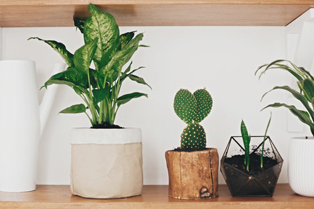 Stylish wooden shelves with modern green plants and white watering can.  Cactus, Dieffenbachia, Dracaena, Sansevieria flower pots on shelf. Stylish hipster room decor.