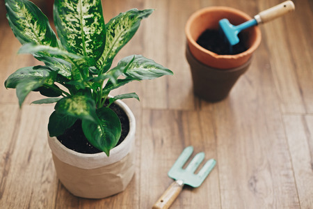 Repotting plant concept. Dieffenbachia plant potted with new soil into new modern pot, and gardening stylish tools, and old clay pots on wooden floor.