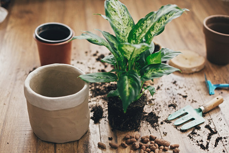 Repotting plant concept. Dieffenbachia plant in soil with gardening stylish tools, ground ,drainage and clay pots on wooden floor. Preparing for repotting dumbcane into new modern pot.