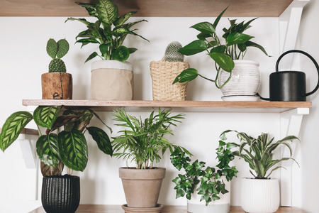 Stylish wooden shelves with green plants and black watering can. Modern hipster room decor. Cactus, dieffenbachia, epipremnum, calathea,dracaena,ivy, palm in pots on shelf