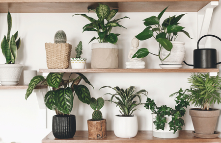Stylish green plants and black watering can on wooden shelves. Modern hipster room decor. Cactus, calathea, dieffenbachia, dracaena, epipremnum, ivy, palm, sansevieria in pots on shelf