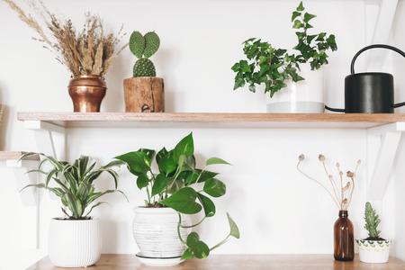 Stylish wooden shelves with green plants, black watering can, boho wildflowers. Modern hipster room decor. Cactus, epipremnum pothos, dracaena, ivy flower pots on shelf