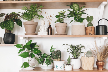 Stylish wooden shelves with green plants, black watering can, wildflowers. Modern hipster room decor. Cactus, epipremnum, dieffenbachia, calathea,dracaena,palm, peperomia in pots on shelf